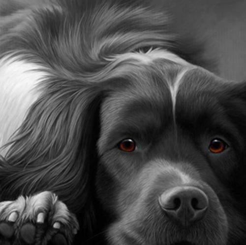 Dog Tired - Springer Spaniel