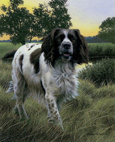Spring Watch - Springer Spaniel