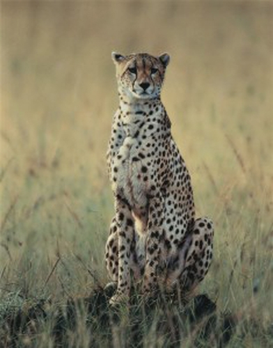 Morning Dew - Cheetah by Steven Townsend