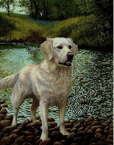 White Gold - Golden Retriver