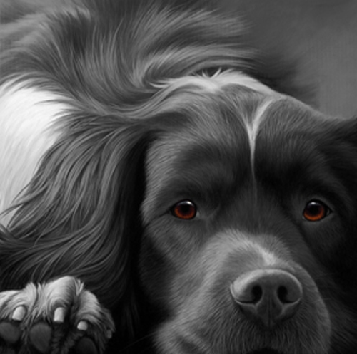 Dog Tired - Springer Spaniel on Canvas